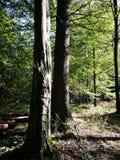 Dos árboles viejos en stan de hojas caducas sombrío en caída Fotos de archivo