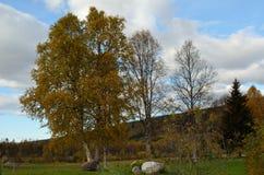 Dos árboles y uno de abedul estériles con la hoja amarilla Imagen de archivo