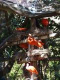 Dos íbis de Eudocimus escarlate do vermelho do ruber Fotografia de Stock