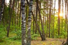 Dos abedules en bosque verde Foto de archivo libre de regalías