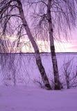 Dos abedules en la puesta del sol Fotografía de archivo