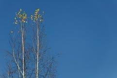 Dos abedules solos contra el cielo azul Foto de archivo libre de regalías