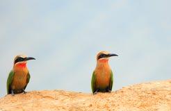 Dos Abeja-comedores de pecho blanco se encaramaron al borde de un banco de arena en luangwa del sur Fotos de archivo