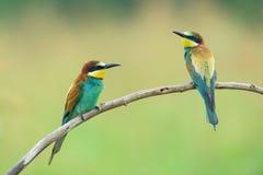 Dos Abeja-comedores en una rama Imagen de archivo libre de regalías