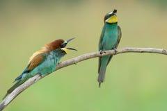 Dos Abeja-comedores en una rama Fotos de archivo