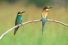 Dos Abeja-comedores en una rama Fotografía de archivo libre de regalías