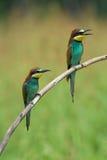 Dos Abeja-comedores en una rama Imagenes de archivo