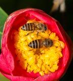 Dos abejas Fotos de archivo libres de regalías