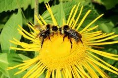 Dos abejas Fotografía de archivo libre de regalías