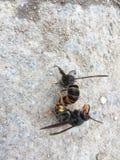 Dos abejas acopladas en la tierra Fotografía de archivo