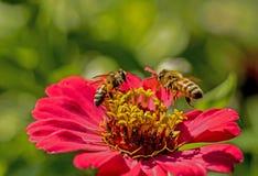 Dos abejas alimentan en una floración de un Zinnia rosado Fotografía de archivo libre de regalías
