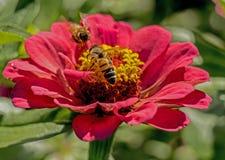 Dos abejas alimentan en una floración de un Zinnia rosado Fotos de archivo libres de regalías