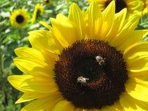 Dos abejas aresitting en el girasol Fotos de archivo libres de regalías