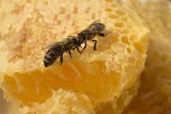 Dos abejas cara a cara en el panal por completo de la miel Fotografía de archivo
