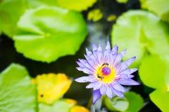 Dos abejas con la flor de loto púrpura Imagen de archivo libre de regalías