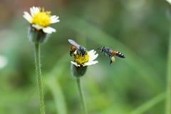 Dos abejas con las flores de la hierba Fotografía de archivo libre de regalías
