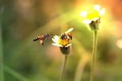 Dos abejas con las flores de la hierba Foto de archivo