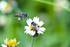 Dos abejas con las flores de la hierba Fotos de archivo libres de regalías