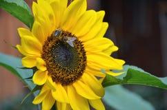Dos abejas de la miel en el girasol en la floración recogen el néctar y el polen de la flor Foto de archivo