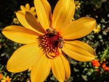 Dos abejas de la miel en la flor en Victoria Canada Imagen de archivo libre de regalías