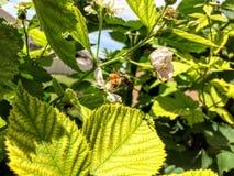Dos abejas de la miel en las zarzamoras en Utah América los E.E.U.U. Imágenes de archivo libres de regalías