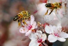 Dos abejas de la miel en vuelo y en foco Imagen de archivo libre de regalías