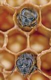 Dos abejas de Yong Imagenes de archivo