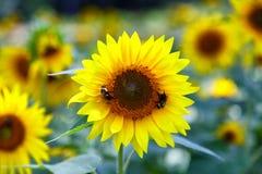 Dos abejas en el girasol Foto de archivo