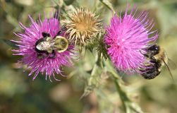Dos abejas en la bahía de Humber de las flores del cardo apuntalan el parque Foto de archivo libre de regalías