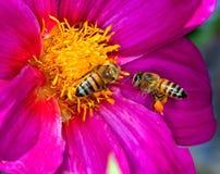 Dos abejas en la flor Fotografía de archivo libre de regalías