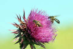Dos abejas en la flor Imagen de archivo libre de regalías