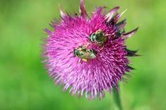Dos abejas en la flor Fotos de archivo