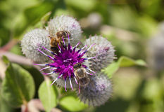 Dos abejas en la flor de la bardana Foto de archivo libre de regalías