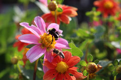 Dos abejas en la flor rosada Foto de archivo