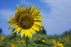 Dos abejas en la pista de flor de Sun Imagen de archivo
