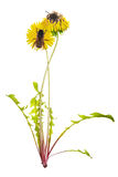 Dos abejas en los dientes de león brillantes amarillos Imagen de archivo libre de regalías