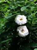 Dos abejas en dos rosas blancas Imagen de archivo libre de regalías