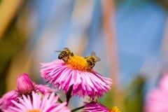 Dos abejas en un aster. Imágenes de archivo libres de regalías