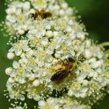 Dos abejas en un braguero del serbal Fotografía de archivo