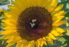 Dos abejas en un girasol Fotos de archivo libres de regalías
