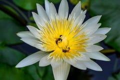 Dos abejas en un loto blanco en una charca Fotos de archivo