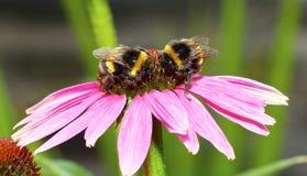 Dos abejas en una flor del echinacea Imágenes de archivo libres de regalías