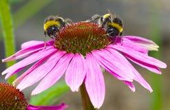 Dos abejas en una flor del echinacea Imagen de archivo
