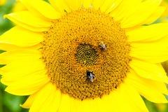 Dos abejas en una pista del girasol Fotos de archivo