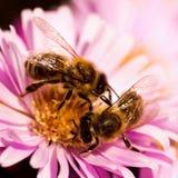Dos abejas en una polinización de la flor Imagen de archivo libre de regalías