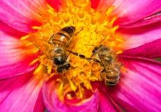 Dos abejas que buscan el néctar Fotos de archivo