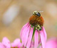 Dos abejas que comparten la misma flor del Echinacea Fotografía de archivo libre de regalías