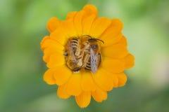 Dos abejas que descansan sobre un calendula de la flor Fotos de archivo libres de regalías