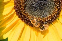 Dos abejas recogen el néctar de una flor de un girasol Foto de archivo