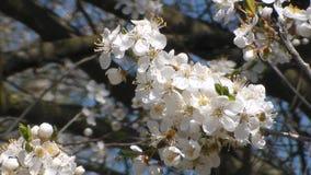 Dos abejas recogen el n?ctar en las flores de la manzana floreciente blanca Anthophila, mellifera de los Apis almacen de metraje de vídeo